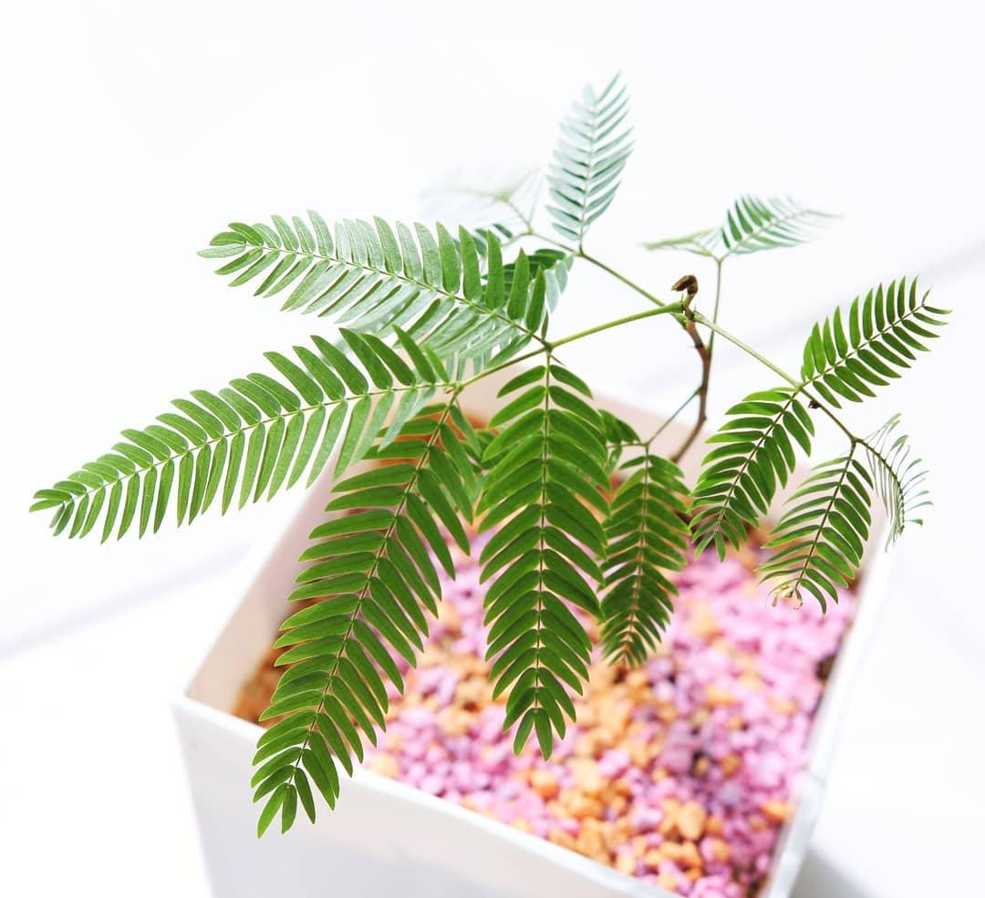 スタッフによる挿し木。エバーグリーンフレッシュの枝を挿し木しました。清涼感のある小鉢です。