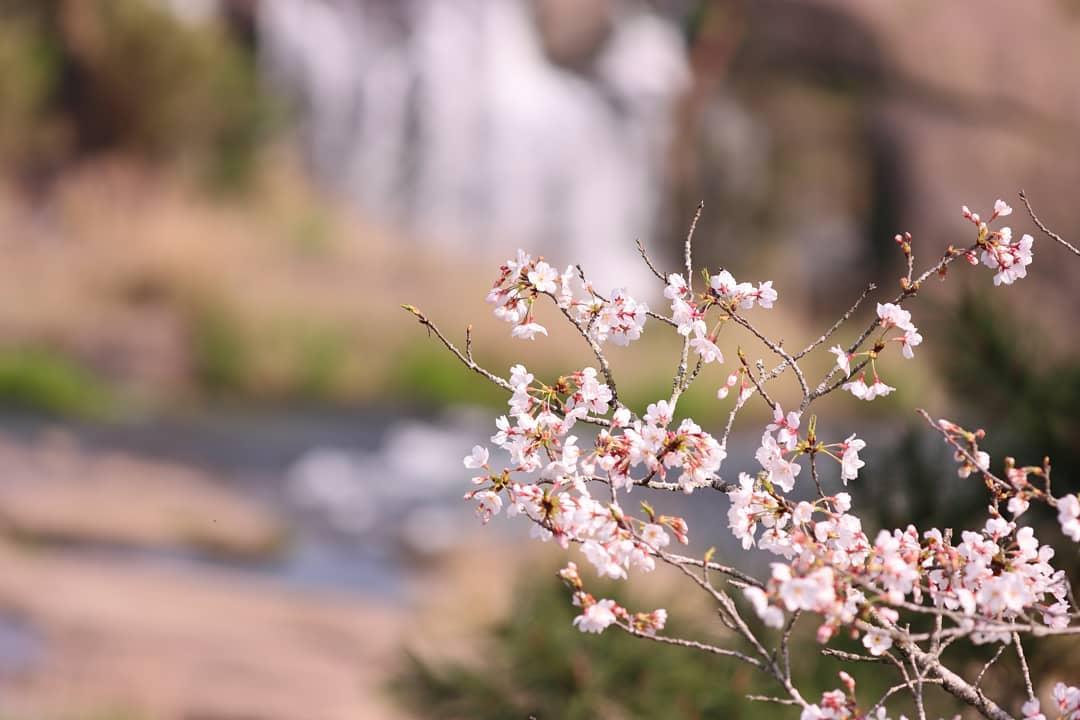 渓流の桜。 今年は新型コロナウイルスの影響でお花見も出来ませんでした。。。この写真は3月末に曽木の滝へ出かけた際、撮影したものです。まだ蕾も混じっている状態でしたが、この後は出かけることもできなくなり、今年唯一の撮影となりました 来年は満開の桜を撮りたいものです