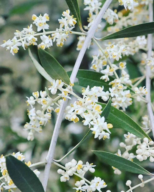 オリーブの花が満開。 昨年は元気がなかったオリーブの樹ですが、剪定と肥料調整をおこなったところ、今年は見事に満開となりました 一つ一つの花びらは小さいのですが、まとまって咲くので白さが引き立ち、葉っぱの緑とのコントラストが美しいです。 オリーブの花言葉は「平和・知恵・勝利」、国連の国花にも選ばれているそうです。 新型コロナウイルスとの戦いに世界中の知恵を総動員して、いつか勝利を勝ち取ることができるように祈っています。