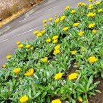 花壇のガザニアが復活